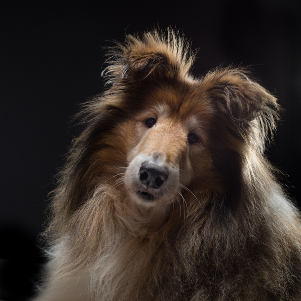 Rough-Collie-Mack-from-Dogs-Trust.jpg