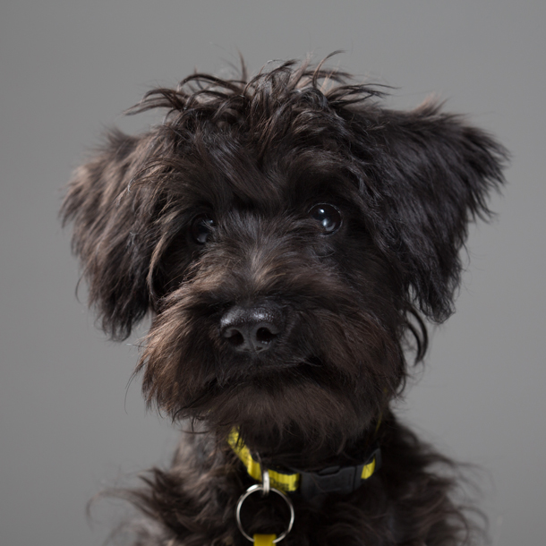Schnoodle-named-Pudding-from-Dogs-Trust.jpg